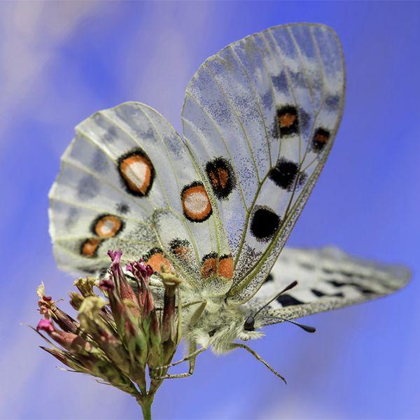 Apollo parnassius butterfly